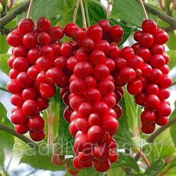 Лимонник Китайский (Schisandraceae)