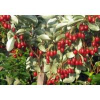 Гуми, Вишня серебристая или Лох многоцветковый (Elaeagnus mu...