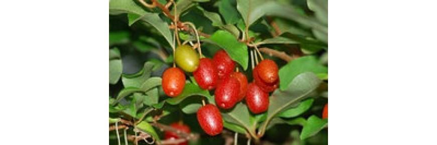 Гуми, Вишня серебристая или Лох многоцветковый (Elaeagnus multiflora)