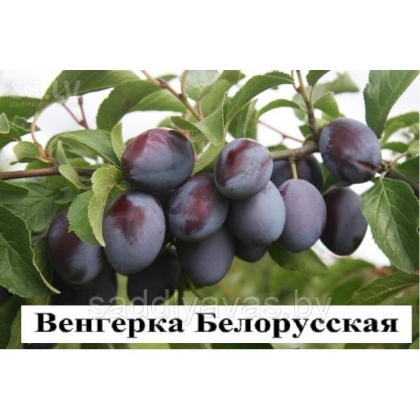 Слива Венгерка Белорусская
