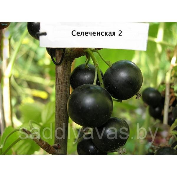"""Смородина """"Селеченская-2"""""""
