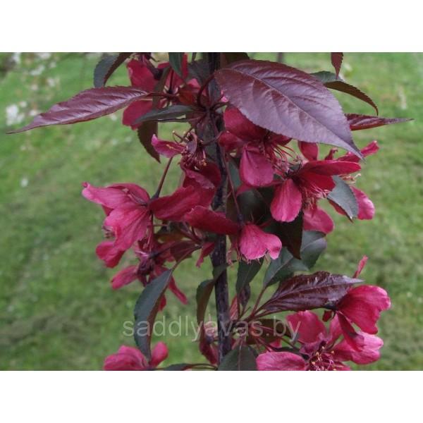 Декоративная яблоня Пурпурная (Недзвецкого)